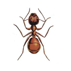 Ameisenbekämpfung Rotrückige Hausameise Kontra Schädlingsbekämpfung
