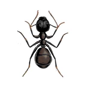 Ameisenbekämpfung Schwarzgraue Wegeameise Kontra Schädlingsbekämpfung