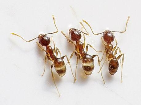 Kontra Schädlingsbekämpfung Ameisen