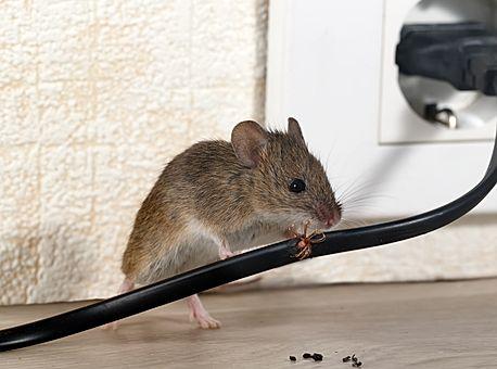 Kontra Schädlingsbekämpfung Maus