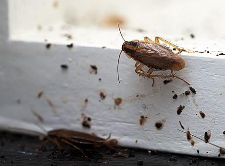 Kontra Schädlingsbekämpfung von Kakerlaken in Mannhein Heidelberg Speyer und Walldorf