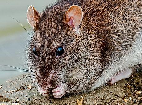 Kontra Schädlingsbekämpfung von Ratten in Mannheim Heidelberg Speyer und Walldorf