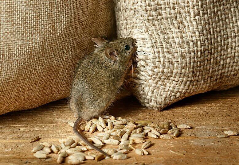 Mäusebekämpfung mit Kontra Schädlingsbekämpfung